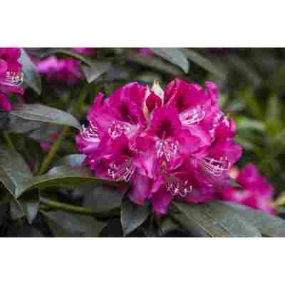 Rhododendron 'Constanze', 23 cm Topf