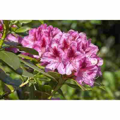 Rhododendron 'Cosmopolitan', 23 cm Topf