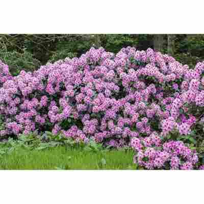 Rhododendron 'Diadem', 23 cm Topf