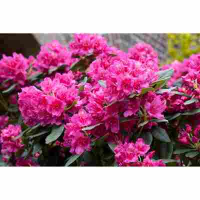 Rhododendron 'Dr. H.C. Dresselhuys', 23 cm Topf