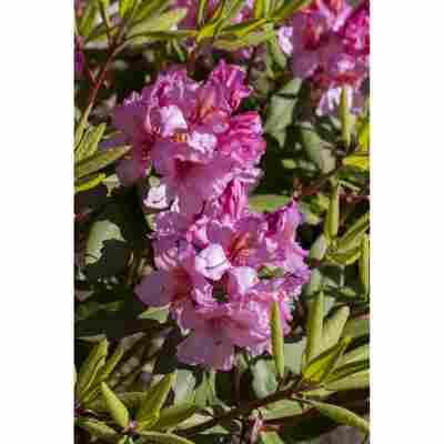 Rhododendron 'Duke of York', 23 cm Topf