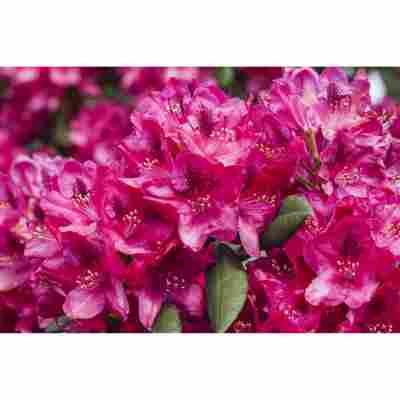 Rhododendron 'Erato®', 23 cm Topf