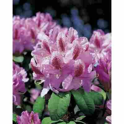 Rhododendron 'Furnivals Daughter', 23 cm Topf