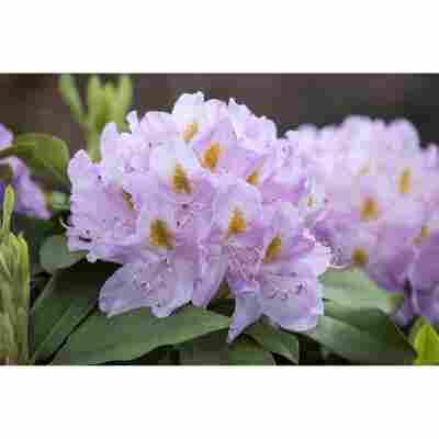 Rhododendron 'Genoveva', 23 cm Topf