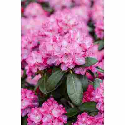 Rhododendron 'Germania', 23 cm Topf