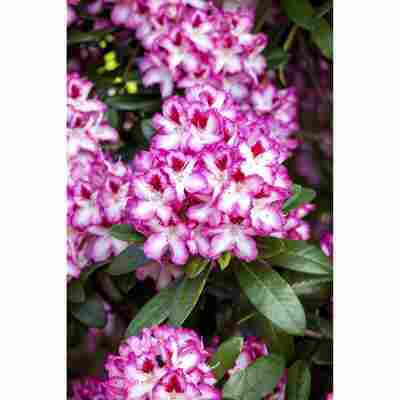 Rhododendron 'Hachmanns Charmant®', 23 cm Topf