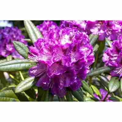 Rhododendron 'Kabarett®', 23 cm Topf