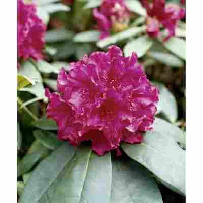 Rhododendron 'Mrs.P.den Ouden', 23 cm Topf