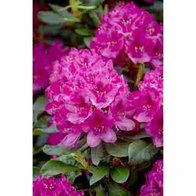 Rhododendron 'Nova Zembla', 23 cm Topf