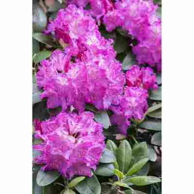 Rhododendron 'Omega', 23 cm Topf