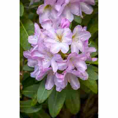 Rhododendron 'Paola', 23 cm Topf