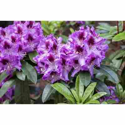 Rhododendron 'Pfauenauge®', 23 cm Topf