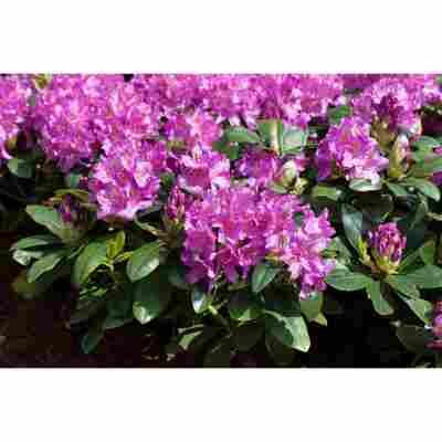 Rhododendron 'Pink Purple Dream®', 23 cm Topf