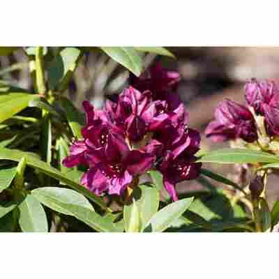 Rhododendron 'Polarnacht', 23 cm Topf