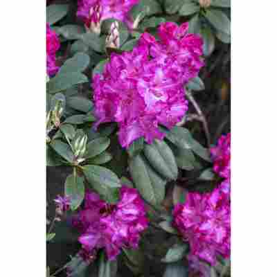 Rhododendron 'Walküre®', 23 cm Topf