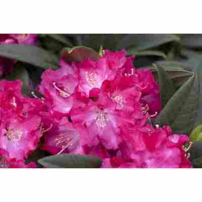 Rhododendron 'Berliner Liebe', 23 cm Topf