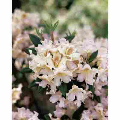 Rhododendron 'Bernstein', 23 cm Topf