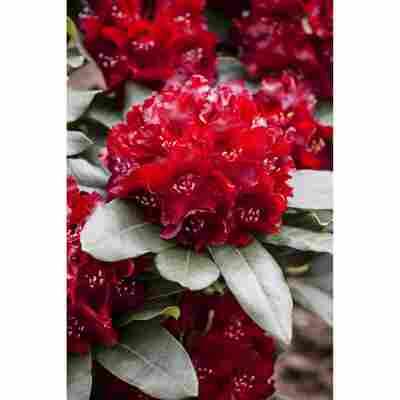 Rhododendron 'Cherry Kiss®', 23 cm Topf