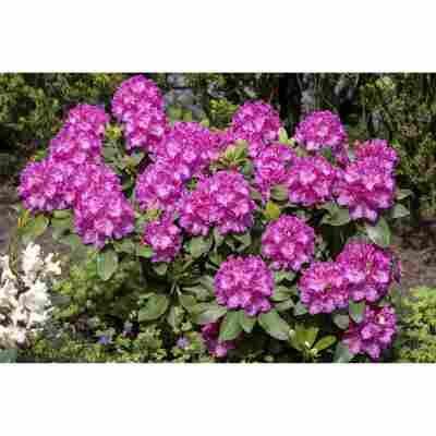 Rhododendron 'Claudine', 23 cm Topf