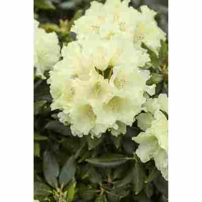 Rhododendron 'Goldkrone®', 23 cm Topf
