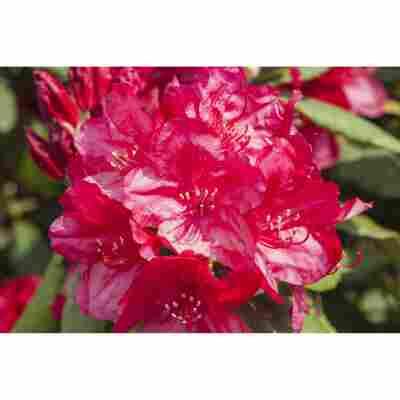 Rhododendron 'Hachmanns Feuerschein®', 23 cm Topf
