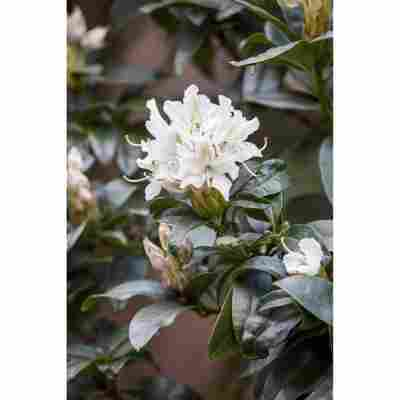 Rhododendron 'Cunninghams White', 23 cm Topf