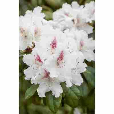 Rhododendron 'Schneeauge', 23 cm Topf