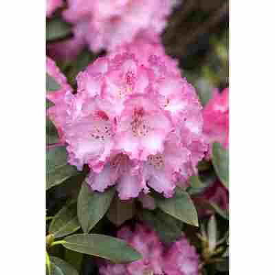 Rhododendron 'Simona', 23 cm Topf