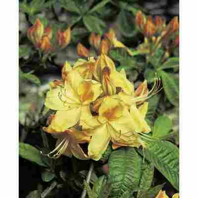 sommergrüne Azalee 'Golden Sunset', 23 cm Topf
