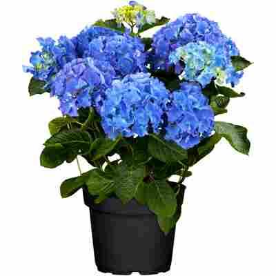 Gartenhortensie mit 10-12 Dolden verschiedene Farben 23 cm Topf