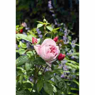 Duftrosen 'Schöne Maid', 21 cm Topf