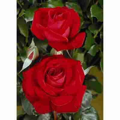 Edelrose 'Red Brokat', 21 cm Topf dreigestäbt