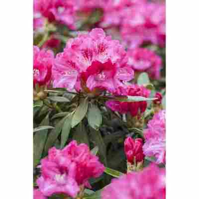 Yakushima-Rhododendron 'Sneezy', 21 cm Topf