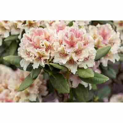 Yakushima-Rhododendron 'Percy Wiseman', 21 cm Topf