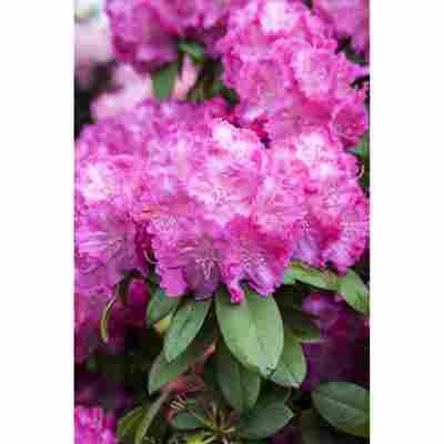 Yakushima-Rhododendron 'Polaris', 21 cm Topf