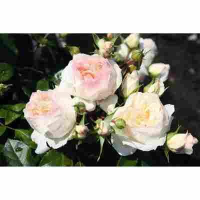 Beetrosen 'Stephanie Baronin zu Guttenberg Rose', 21 cm Topf dreigestäbt