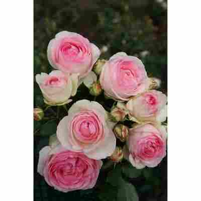 Kletterrose 'Eden Rose® 85' 21 cm Topf