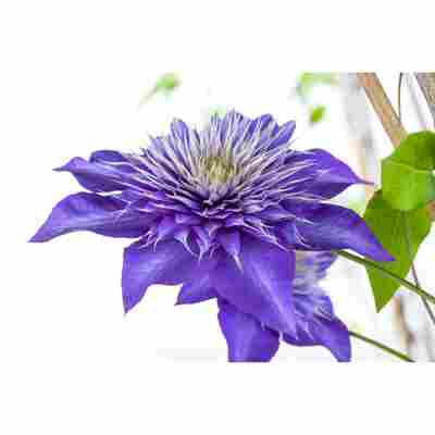 Waldrebe 'Multi Blue', 14 cm Topf