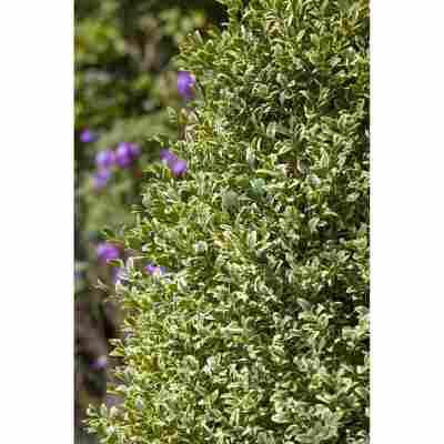 Buchsbaum Elegantissima, 19 cm Topf