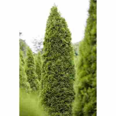 Lebensbaum , 36 cm Topf