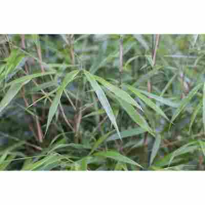 Bambus Asian Wonder; Topf 33