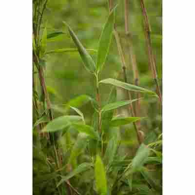 Bambus Super Jumbo®; Topf 33