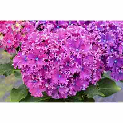 Hortensie Curly Sparkle Blue Purple; Topf 19