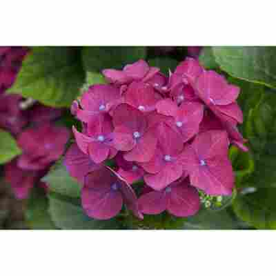 Hortensie Hot Red Lila; Topf 22