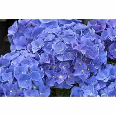 Hortensie Jip Blue; Topf 19