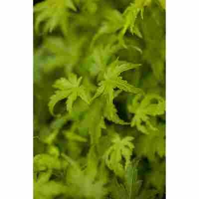 Fächer-Ahorn 'Going Green®', 28 cm Topf