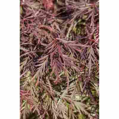 Fächer-Ahorn 'Garnet', 36 cm Topf