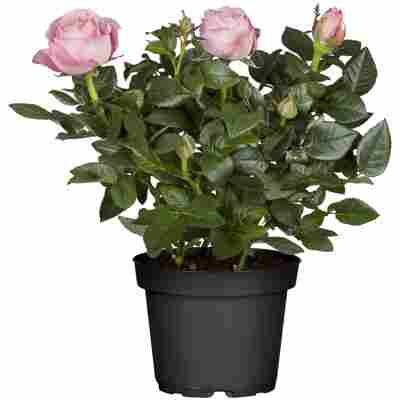 Rosenbusch verschiedene Farben 15 cm Topf