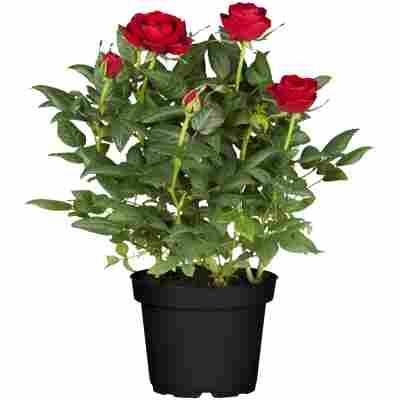 Rosenbusch verschiedene Farben 18 cm Topf