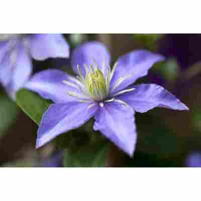 Clematis 'Justa' violett 14 cm Topf